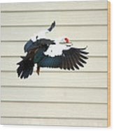 Muscovy Duck In Flight Passing A Building Wood Print