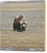 Musk Ox Grazing Wood Print