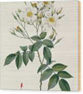 Musk Rose Wood Print by Pierre Joseph Redoute