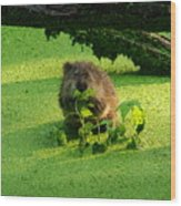 Muskrat Susie Or Muskrat Sam Wood Print
