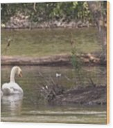 Mute Swan         St. Joe River          June         Indiana Wood Print