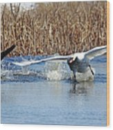 Mute Swan Chasing Canada Goose I Wood Print