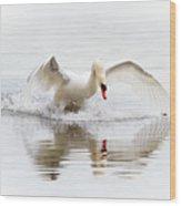 Mute Swan Landing II Wood Print