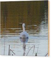 Mute Swan Swimming Away Wood Print