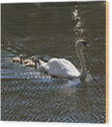 Mute Swan With Three Cygnets Following Wood Print