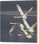Mute Swans In Flight Wood Print
