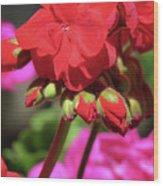 My Beautiful Geraniums And Buds - Images From The Garden Wood Print
