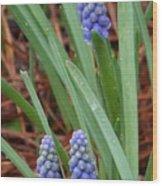 My First Grape Hyacinths Wood Print