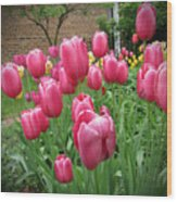 My Focus Was On The Tulips Wood Print