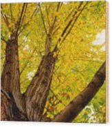 My Maple Tree Wood Print by James BO  Insogna