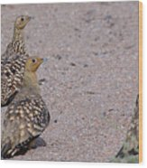 Namaqua Sandgrouse Wood Print