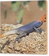 Namib Rock Agama, Male Wood Print