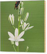 Narbonne Star-of-bethlehem Wood Print