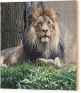 National Zoo - Luke - African Lion Wood Print