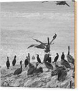 Nature Pelicans Rock  Wood Print