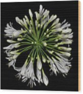 Natures Fireworks - Lily Of The Nile 005 Wood Print