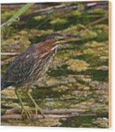 Nervous Green Heron Wood Print