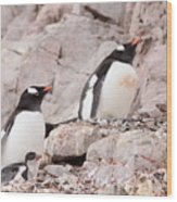 Nesting Gentoo Penguins Wood Print