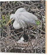 Nesting Great Egret With Chick Wood Print