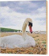 Nesting Mute Swan At Abbotsbury - Impressions Wood Print