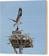 Nesting Osprey In New England Wood Print