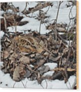 Nesting Woodcock She Survived Her Eggs From The Snow Wood Print
