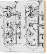 Neuroglia Cells Illustrated By Cajal Wood Print