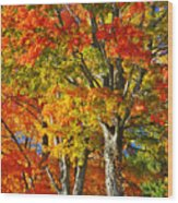 New England Sugar Maples Wood Print