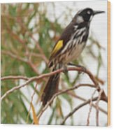 New Holland Honey-eater Wood Print