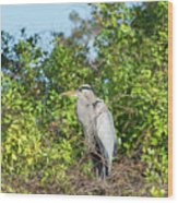 New Nest For Great Blue Heron Wood Print
