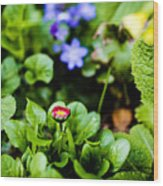 New Season For Bellis Perennis Bellissima Red Wood Print