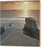 new zealand gannet colony at muriwai beach ,gannet fly from Muri Wood Print