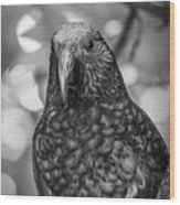 New Zealand Kaka Wood Print