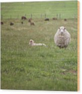 New Zealand Sheep Wood Print