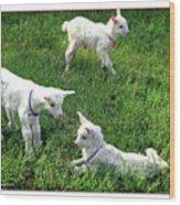 Newborn Goats Wood Print