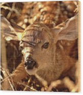 Newly Born Fawn Hiding In A Saskatchewan Field Wood Print