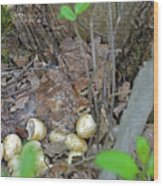Newly Hatched Ruffed Grouse Chicks Wood Print