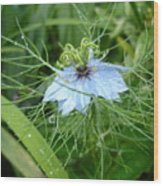 Nigella In Spring Rain Wood Print
