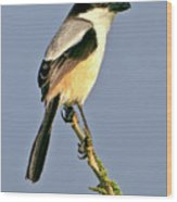 Philippine Falconet Wood Print
