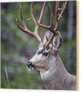 Non-typical Mule Deer Buck Portrait. Wood Print