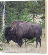 North American Buffalo Grazing Near Edge Of Woods During Late Su Wood Print