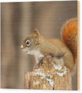 North American Red Squirrel In Winter Wood Print