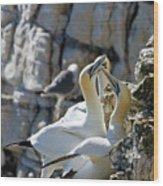 North Atlantic Gannets Wood Print