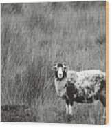 North Yorkshire Moors Sheep Wood Print