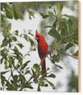 Northern Cardinal - In The Wind Wood Print