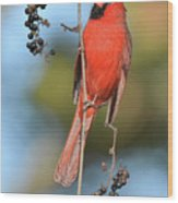 Northern Cardinal With Berry Wood Print