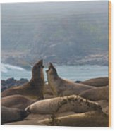Northern Elephant Seals Mirounga Angustirostris Wood Print