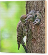 Northern Flicker Family Wood Print