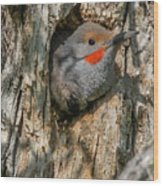 Northern Flicker Pokes His Head Out Wood Print