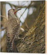 Northern Flicker Woodpecker 1 Wood Print